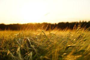barley, field, spike